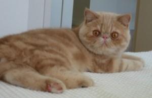 Moja Mačka A Ja - Mačacie plemená - Fotky mačacích plemien 226d49713ae